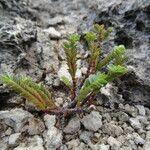 Chamaesyce mesembrianthemifolia