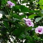 Ipomoea mauritiana