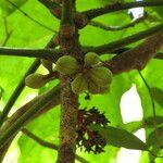 Acropogon pilosus