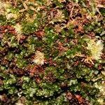 Hymenophyllum francii
