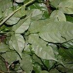 Lonchocarpus oliganthus