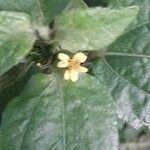Synedrella nodiflora Fiore