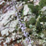 Anarrhinum bellidifolium Kukka
