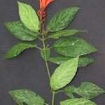 Scutellaria costaricana