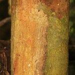 Parinari parvifolia
