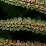 Dryopteris aitoniana