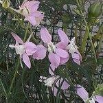 Delphinium ajacis