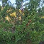 Juniperus phoenicea Leaf
