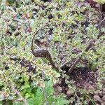 Cotoneaster atropurpureus
