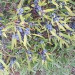 Phillyrea angustifolia Frukt