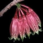 Agapetes burmanica