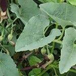 Aristolochia bracteolata