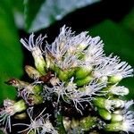 Critonia morifolia
