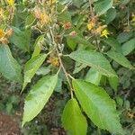 Grewia trichocarpa Lehti