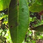 Eugenia mespiloides