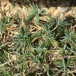 Dianthus laricifolius