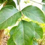 Bischofia polycarpa