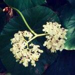 Begonia urophylla