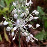 Allium oleraceum
