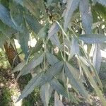Fraxinus angustifolia Blad
