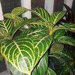 Aphelandra squarrosa 葉
