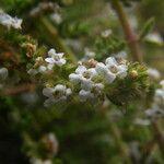 Micromeria hyssopifolia