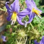 Solanum citrullifolium