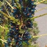 Puya alpestris