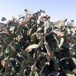 Opuntia ficus-indica Blad