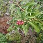 Agarista salicifolia Õis
