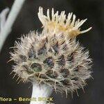 Centaurea clementei