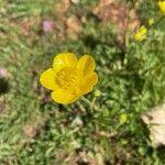 Ranunculus paludosus