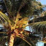 Cocos nucifera Fruit
