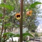 Scrophularia trifoliata
