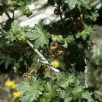 Ribes wolfii