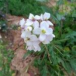 Diplotaxis erucoides Kvet