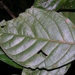 Coccoloba parimensis