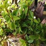 Peperomia humilis