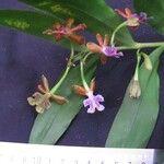 Epidendrum pinniferum