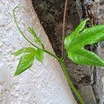 Passiflora edulis Feuille