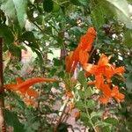 Tecomaria capensis