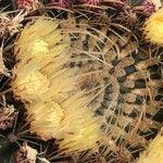 Ferocactus histrix