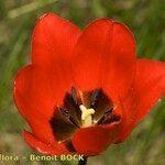 Tulipa planifolia