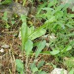 Hieracium atropictum