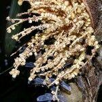 Bactris longiseta