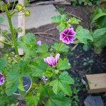 Malva sylvestris Flower