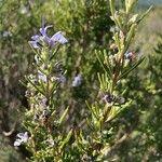 Rosmarinus officinalis Flower