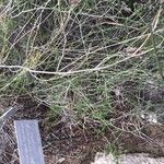 Asparagus nesiotes