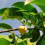 Annona glabra