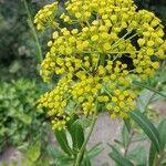 Bupleurum fruticosum Flower